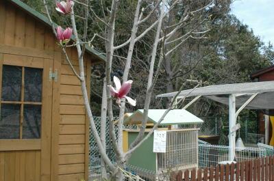 もくれんの木?に花が咲いています。