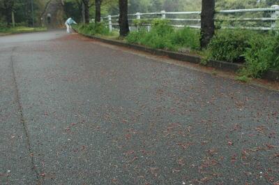 道路に落ちている桜のガク