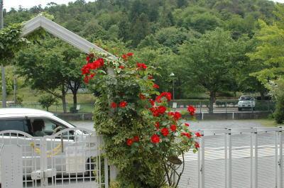 門まわりに咲いたバラ